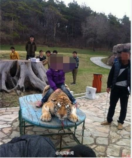 Non, le dogue du Tibet n'est pas un lion !  F2013010
