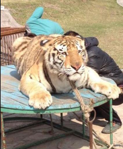 Non, le dogue du Tibet n'est pas un lion !  F2013011