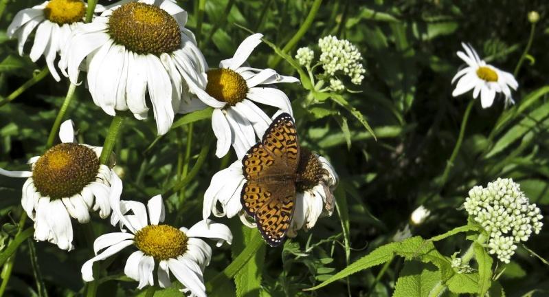 Papillon Papill10