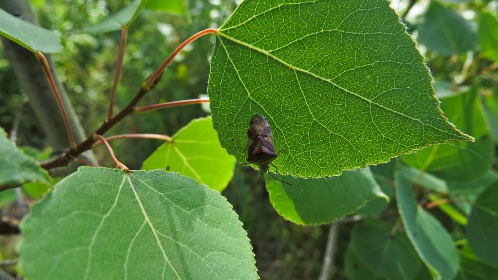 Petit insecte sur une feuille de tremble Sans_t92