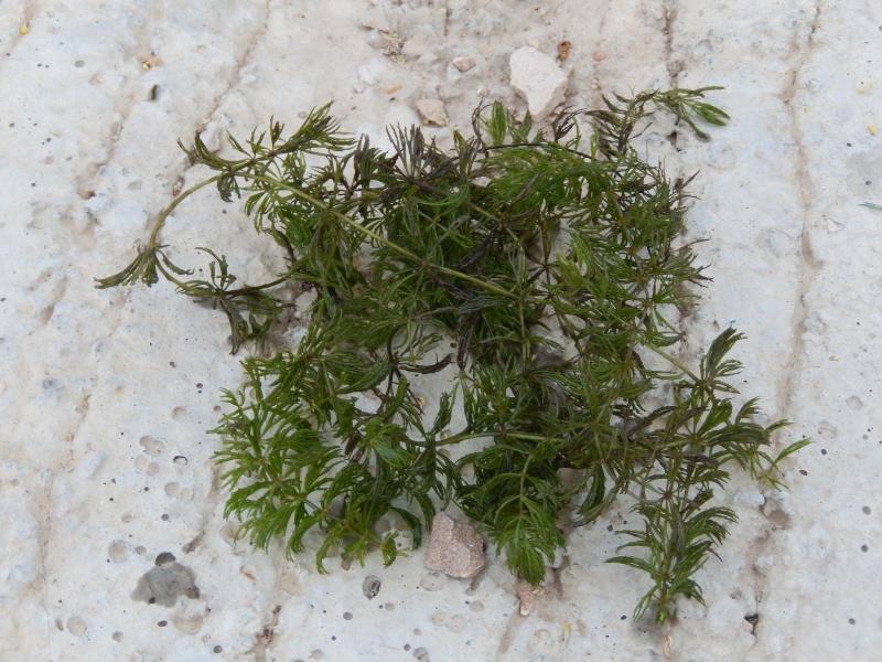 Ceratophyllum demersum - cornifle immergé 2013-010