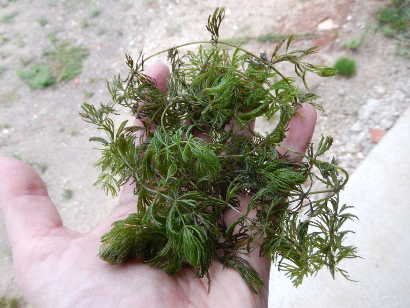 Ceratophyllum demersum - cornifle immergé 2013-011