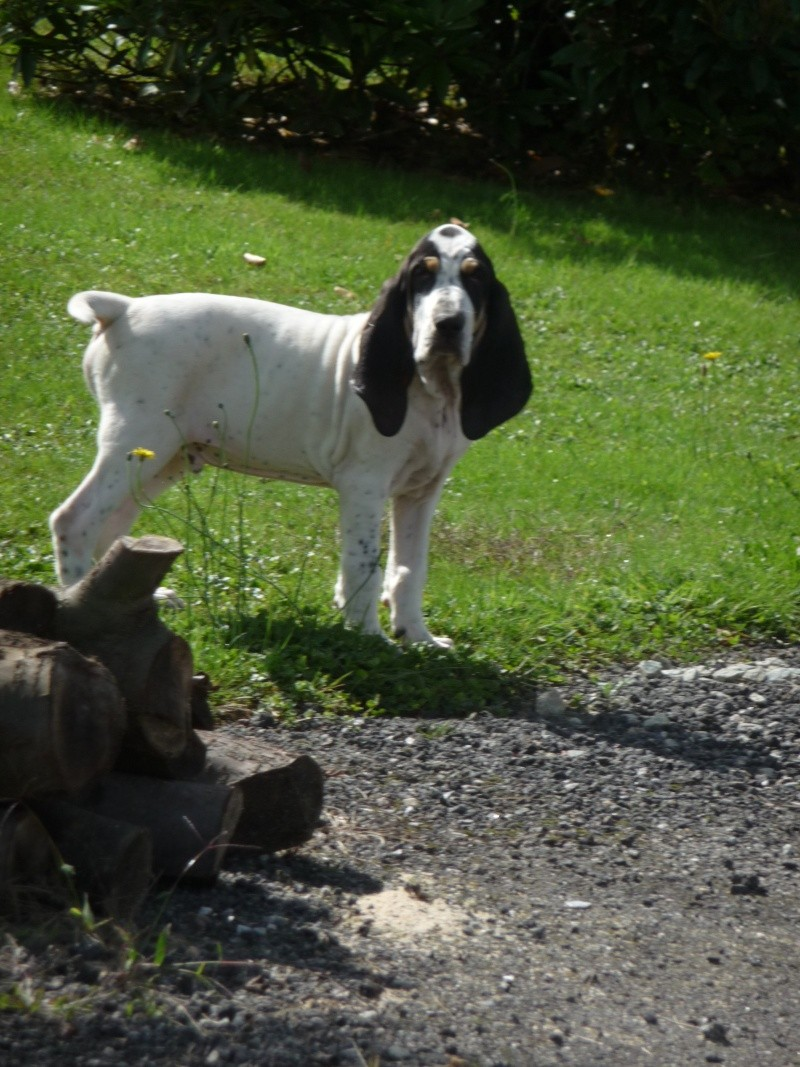 A réserver chiots petits gascons saintongeois P1030417
