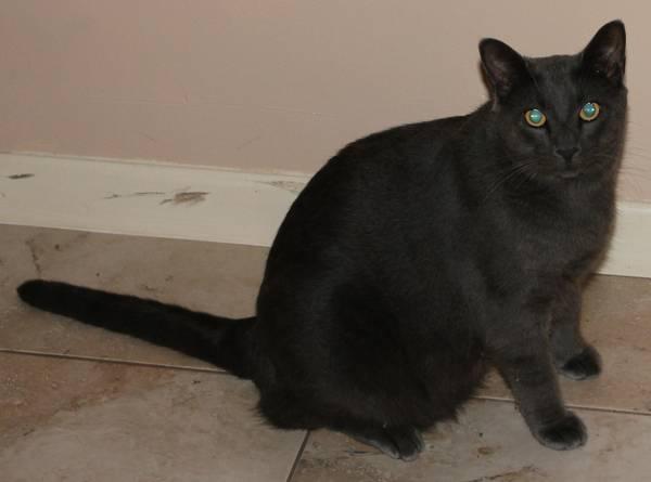 MISSING CAT -LONGWOOD Cat10
