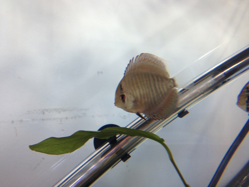 Evolution discus Crazydiscus  Img_0012