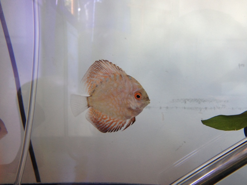 Evolution discus Crazydiscus  Img_0013