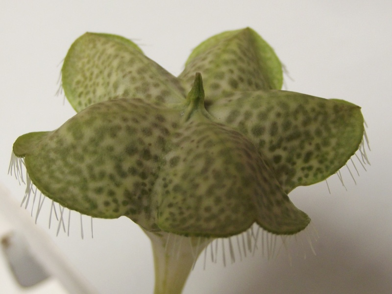 Fleur de céropégia sandersonii 12_01212