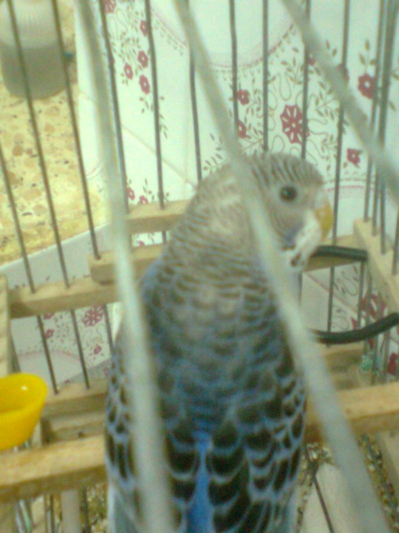 genetique de ma perruche Photo015