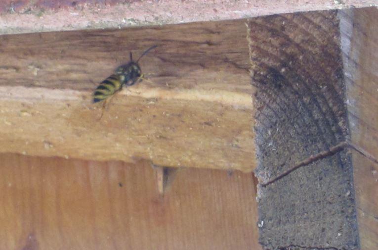 Nid sous toiture dans le grenier Guepe10