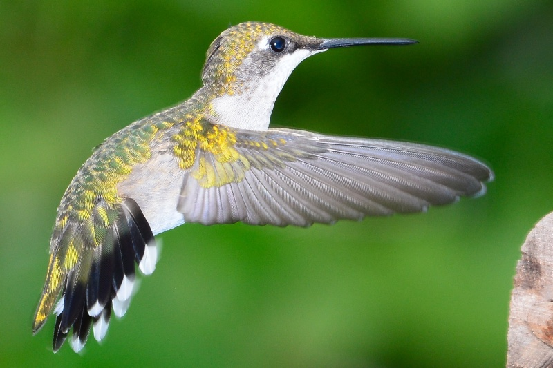 colibri Dsc_0013