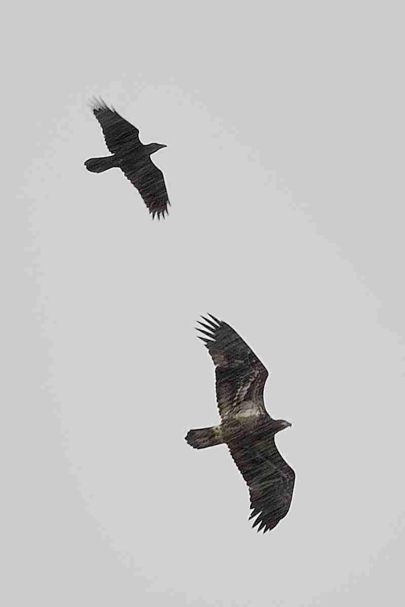 """Oiseau de proix qui se fait """"chasser"""" à identifier svp Dsc_0312"""
