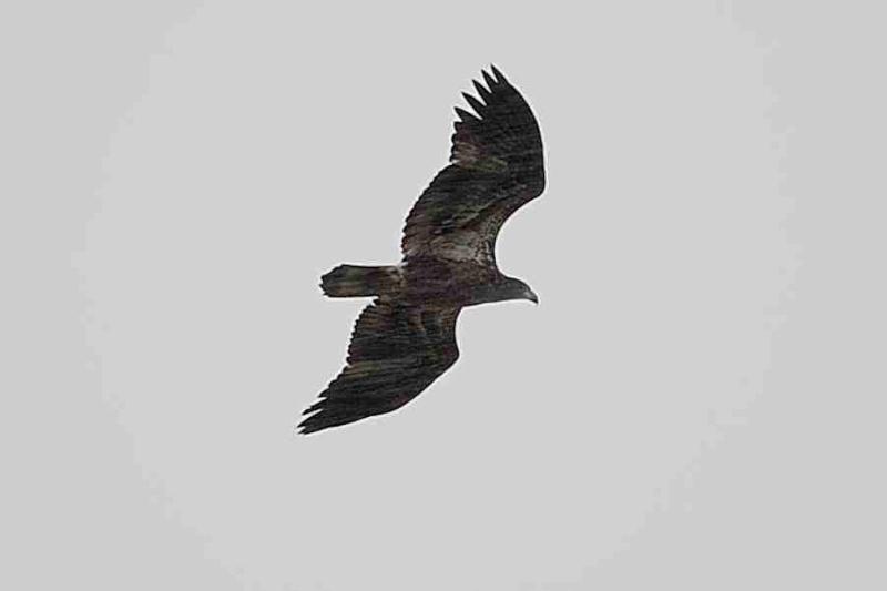 """Oiseau de proix qui se fait """"chasser"""" à identifier svp Dsc_0314"""
