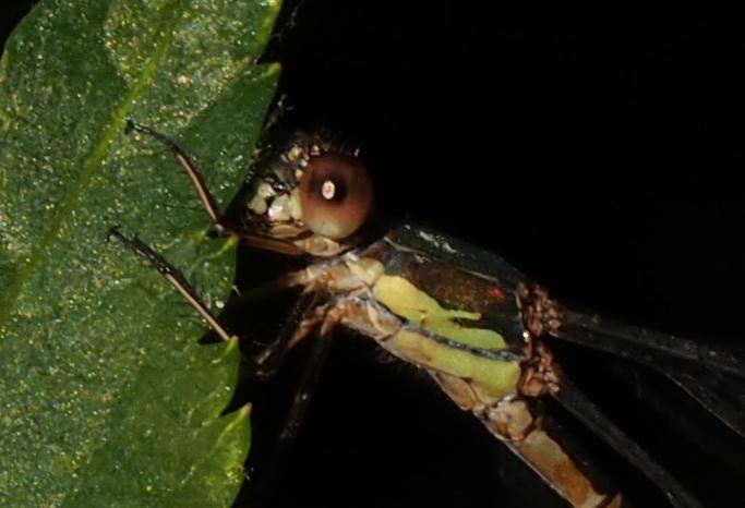 [Chalcolestes viridis][Lestes barbarus ? Sans_t12