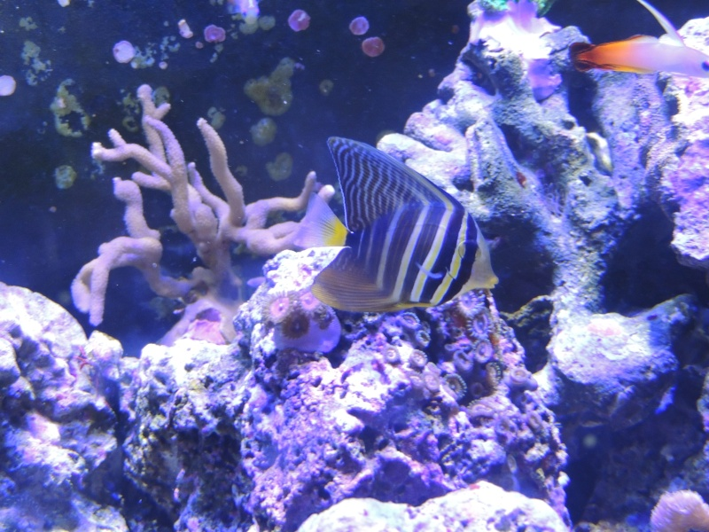 mon 300L eau de mer...... mon vivant Zebras10