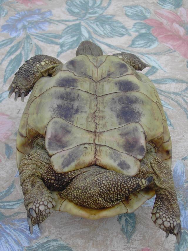 identification tortue Tortue10