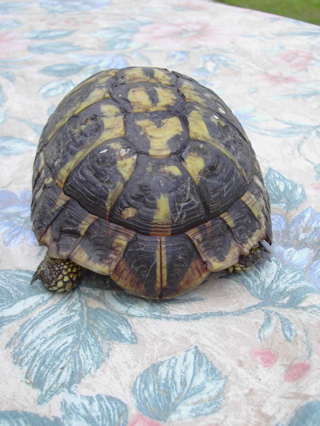 identification tortue Tortue12