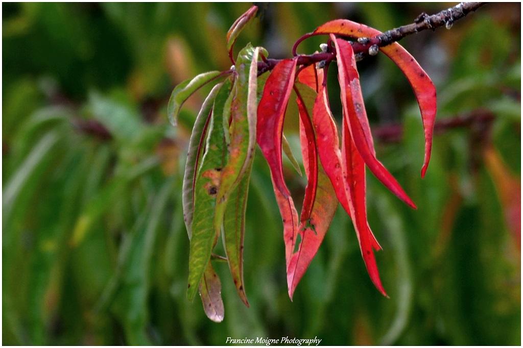 Fleurs de pêcher d'automne 012_co12