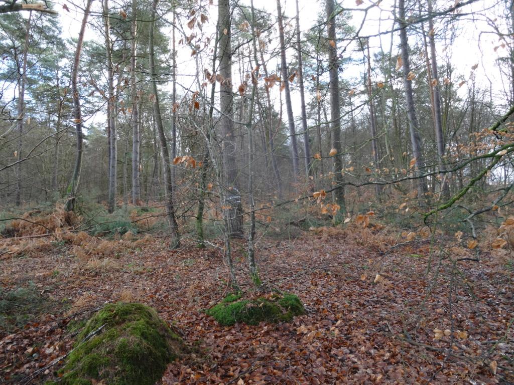 Forêt de Brotonne (76) Dsc02510