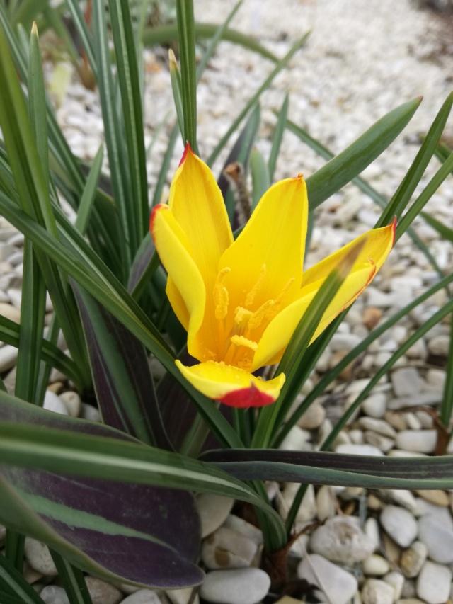 Tulipa 2021 Img_2052