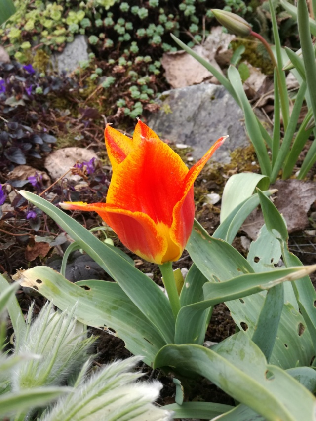 Tulipa 2021 Img_2053