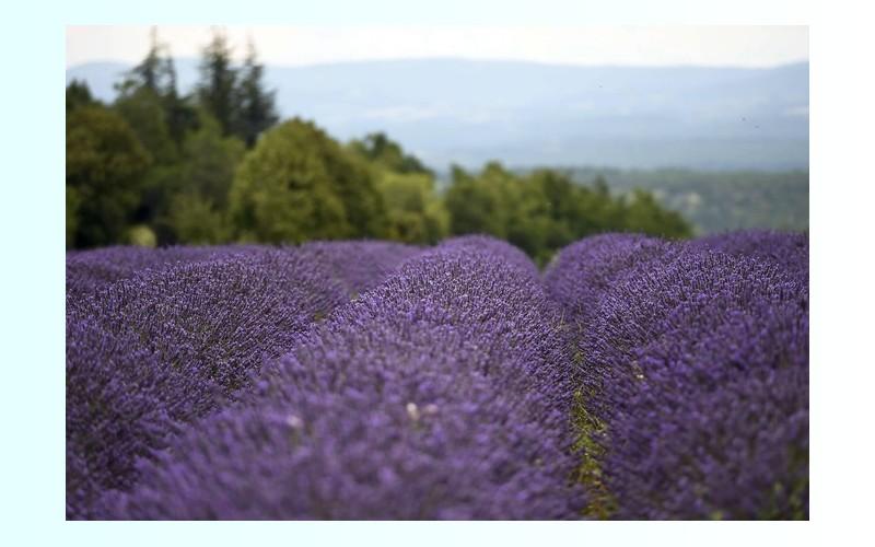 La lavande de Provence menacée par une bactérie 169