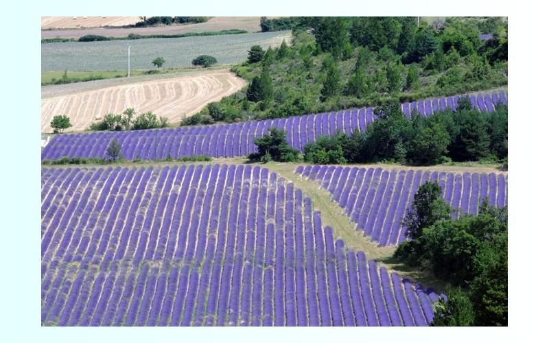 La lavande de Provence menacée par une bactérie 170