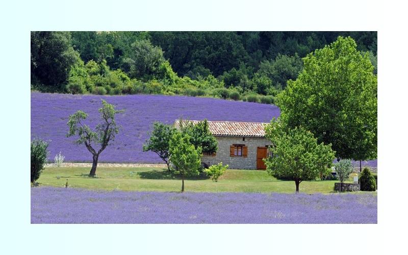 La lavande de Provence menacée par une bactérie 171