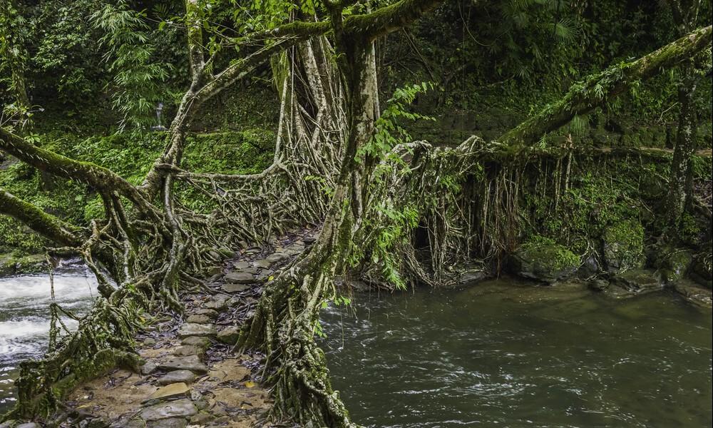 Adieu béton : en Inde, on construit des ponts végétaux 2120