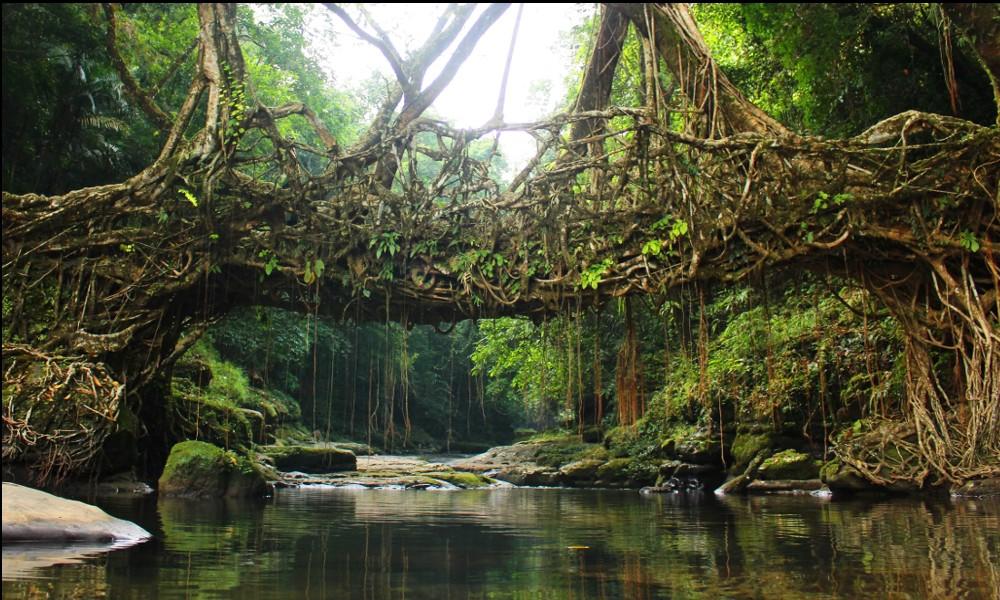 Adieu béton : en Inde, on construit des ponts végétaux 2121