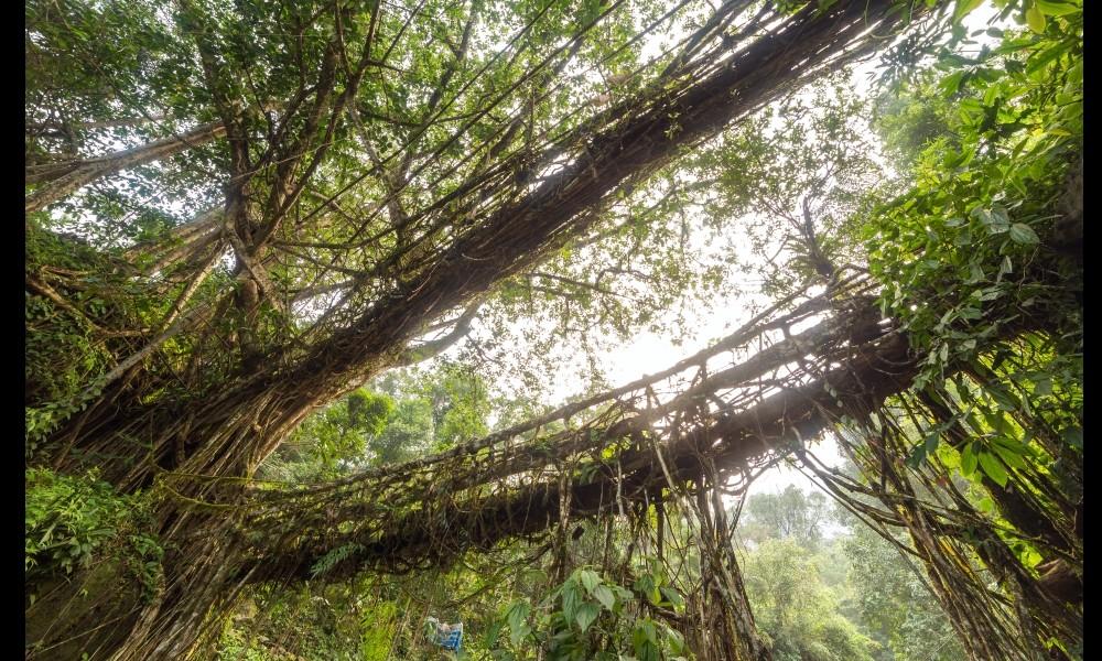 Adieu béton : en Inde, on construit des ponts végétaux 2122