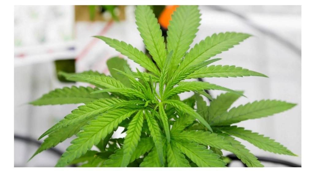 Autoriser le cannabis thérapeutique ? L'Agence française du médicament dit oui 440