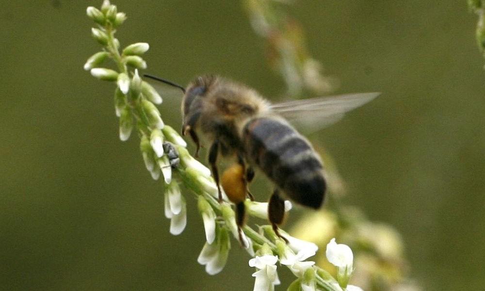 La population d'abeilles augmente en Bretagne M11