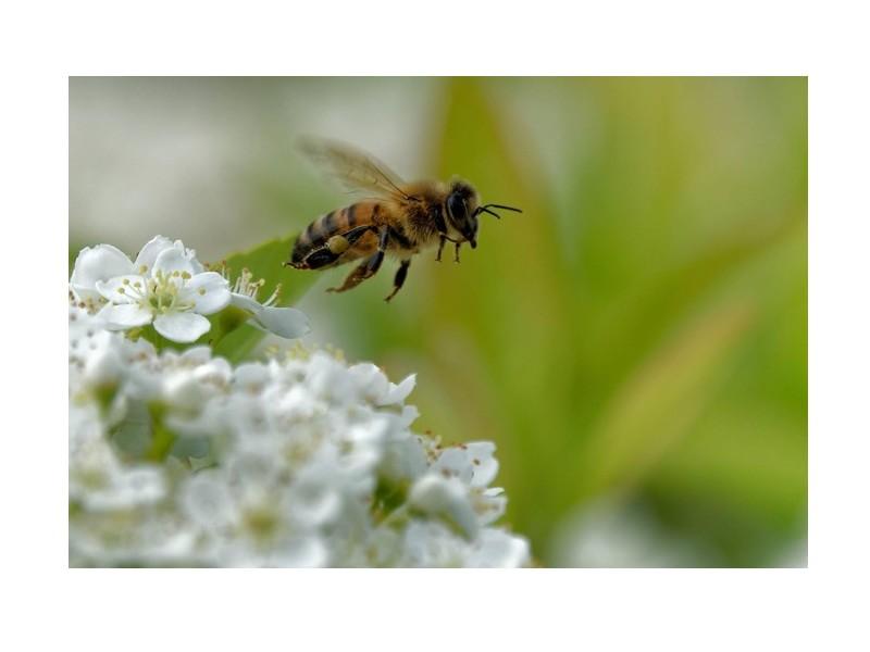 Les abeilles ont un certain talent pour le calcul mental Sans1457