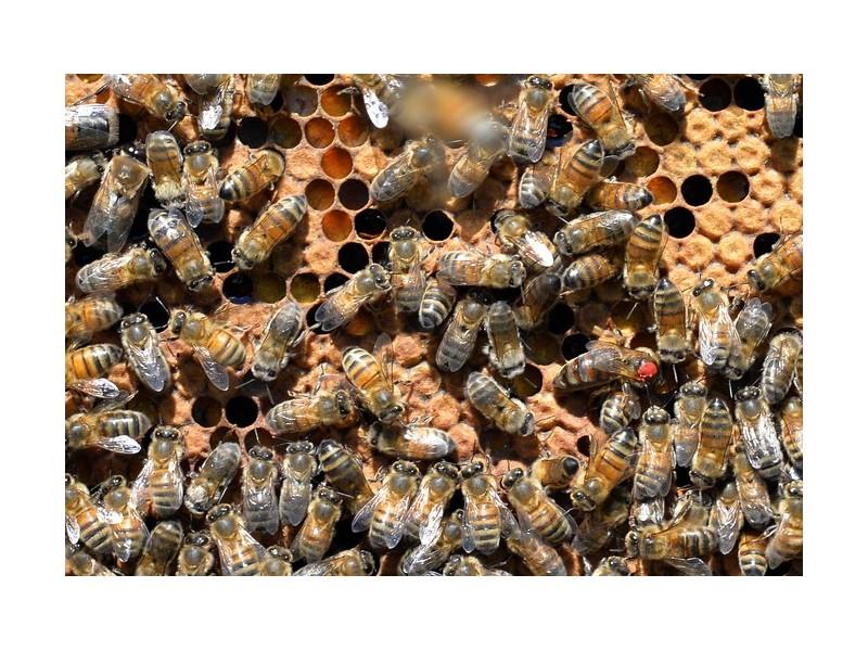 Les abeilles ont un certain talent pour le calcul mental Sans1458