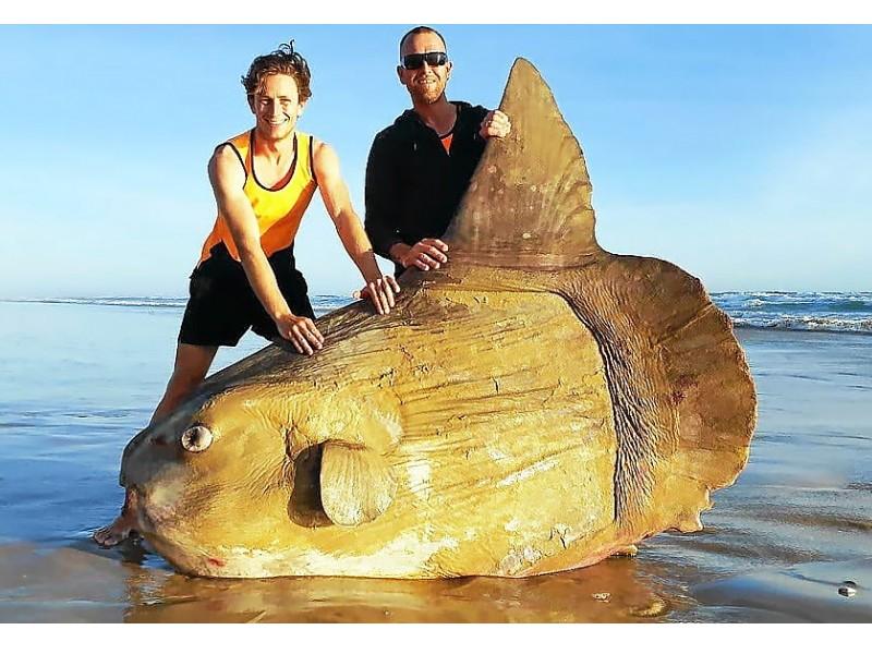 Australie. Un poisson-lune géant s'est échoué sur une plage  Sans1739
