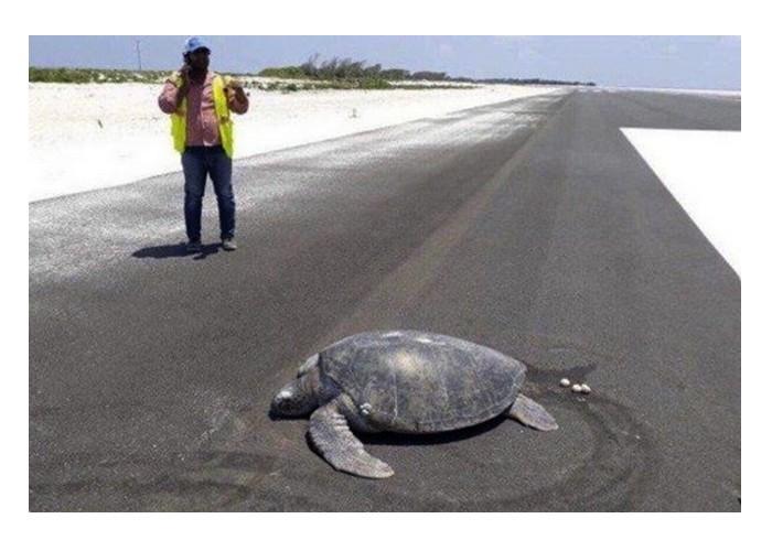 Une tortue va pondre ses œufs, sa plage est devenue une piste d'atterrissage Sans1865
