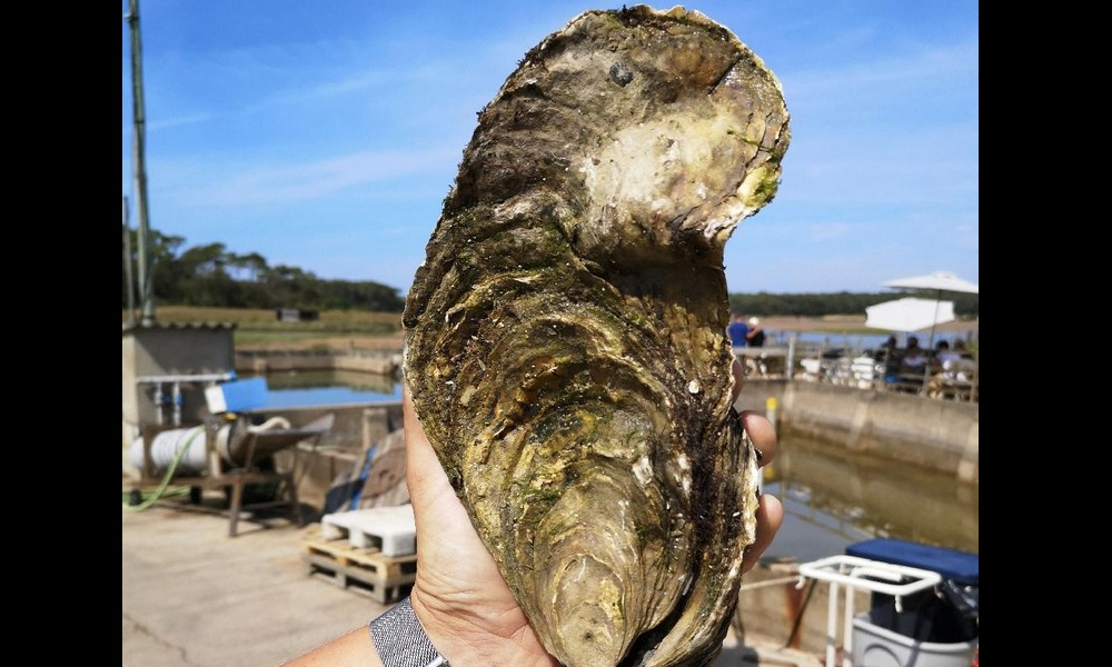 Une huître géante d'1,4 kilo âgée de 13 à 15 ans découverte en Vendée Sans2504