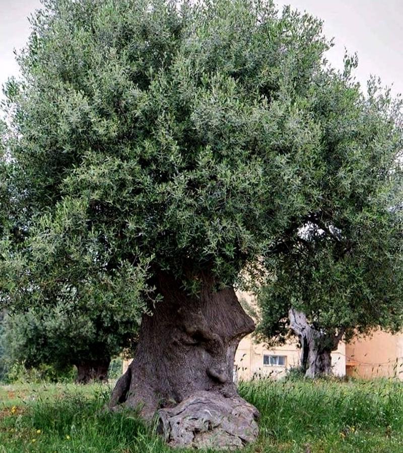 L'arbre pensant (Pouilles, Italie) Sans2674