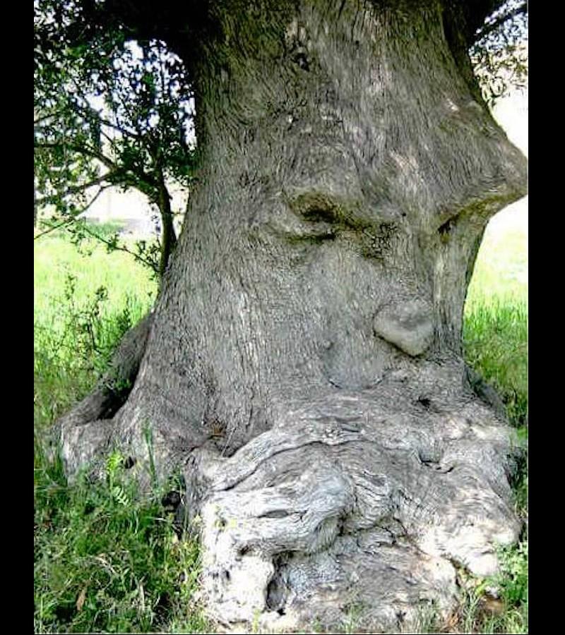 L'arbre pensant (Pouilles, Italie) Sans2675