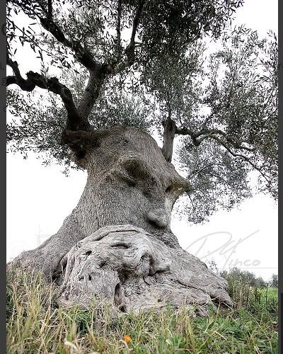 L'arbre pensant (Pouilles, Italie) Sans2676