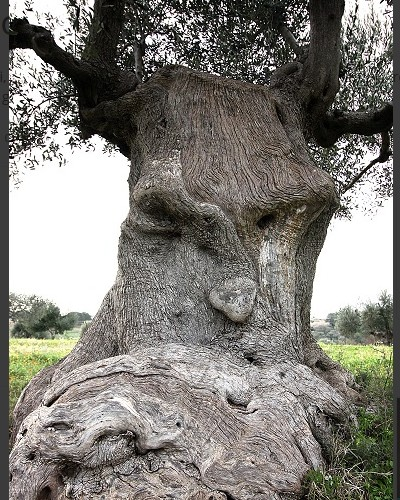 L'arbre pensant (Pouilles, Italie) Sans2677