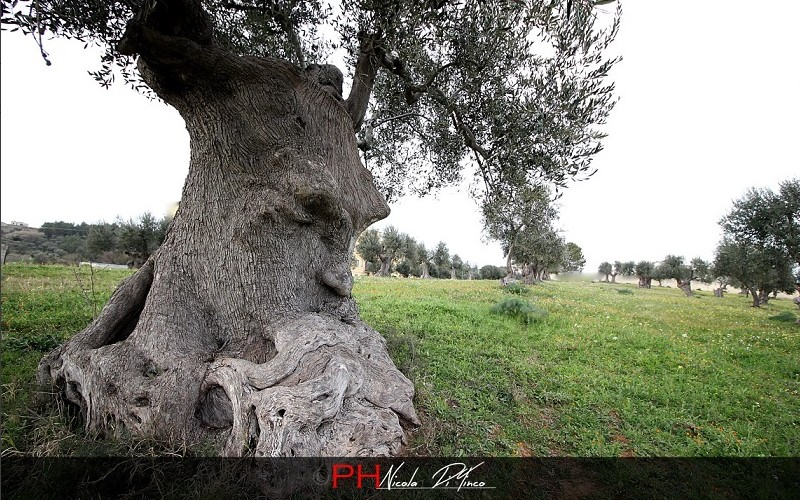 L'arbre pensant (Pouilles, Italie) Sans2678