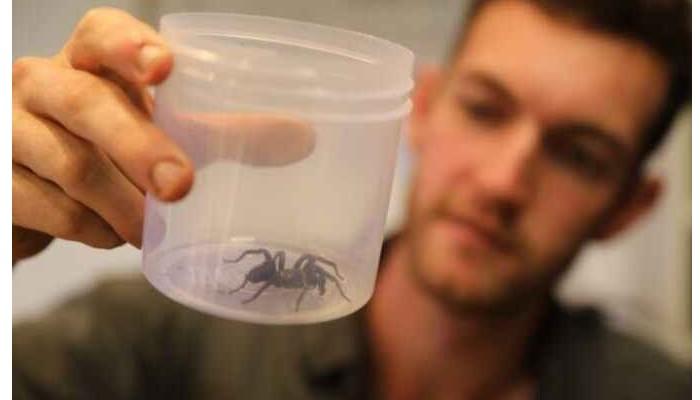 L'éclosion des œufs de l'Atrax robustus, l'une des araignées les plus dangereuses au monde Sans2857