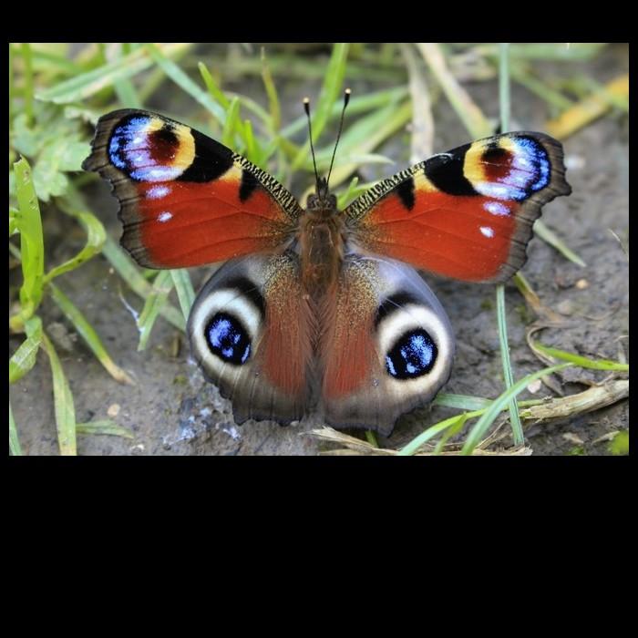Plus les papillons ont de jolies couleurs vives, moins c'est une bonne nouvelle Sans4891