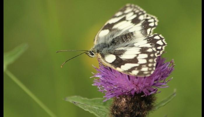 Plus les papillons ont de jolies couleurs vives, moins c'est une bonne nouvelle Sans4892