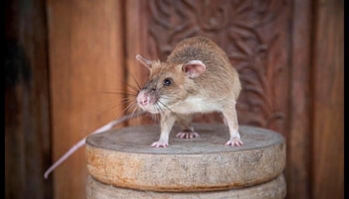Dressé pour détecter des mines, ce rat géant a reçu une médaille pour avoir sauvé des vies Sans4893