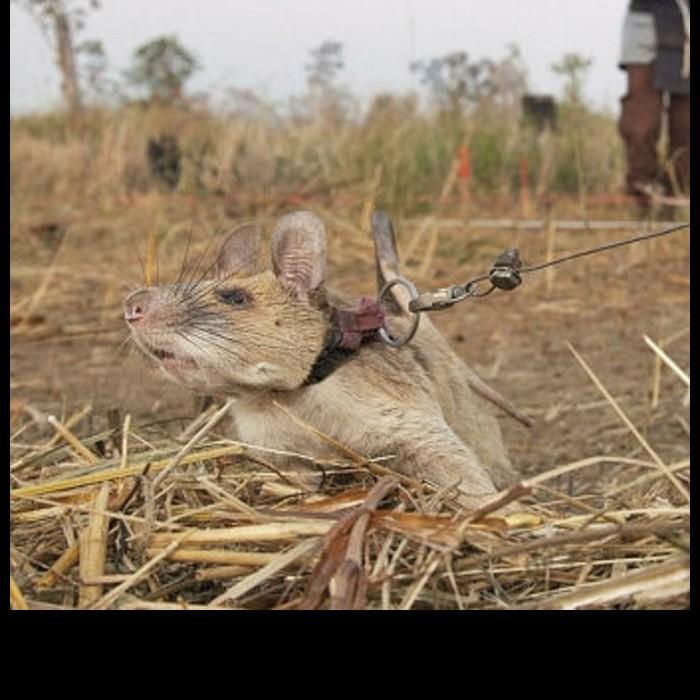 Dressé pour détecter des mines, ce rat géant a reçu une médaille pour avoir sauvé des vies Sans4894