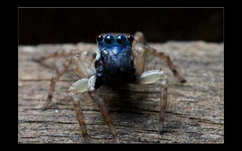Une nouvelle espèce d'araignée sauteuse découverte dans un jardin Sans4995