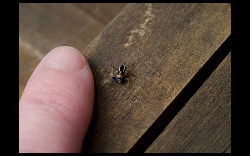 Une nouvelle espèce d'araignée sauteuse découverte dans un jardin Sans4997