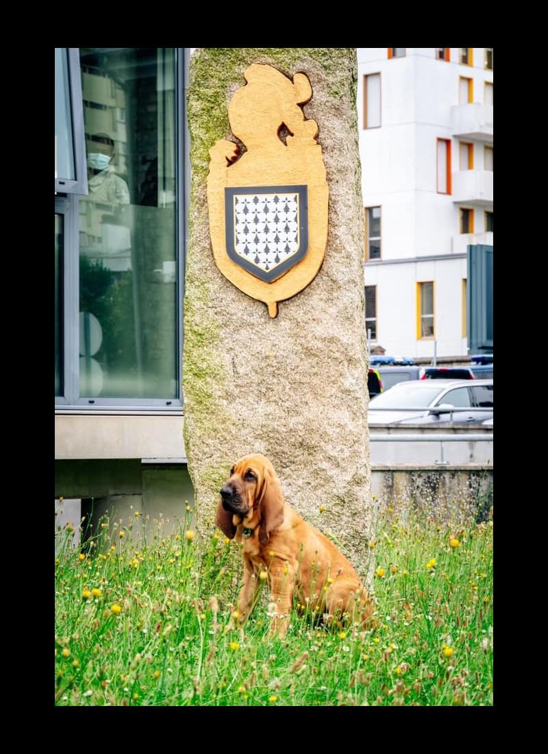 Sully, chiot Saint-Hubert  Sans6380